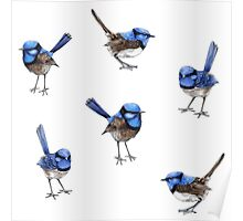 Blue Wrens, Scattered on White Poster