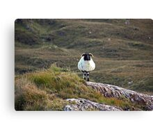 Irish Mountain Sheep Canvas Print