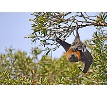 Flying Fox (Fruit Bat) hanging from a tree Photographic Print