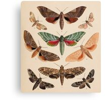 Vintage Natural History Moths Canvas Print