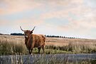 Highland Cattle by Andrew Bret Wallis