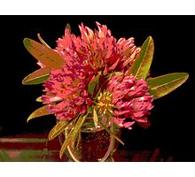 Red Clover 1 Photographic Print