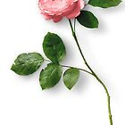 Long Stem Single Pink Rose by artonwear
