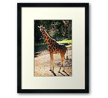 Baringo Giraffe  Framed Print