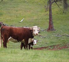 Cow and Calf by ozscottgeorge