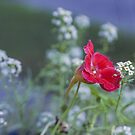 Red Nasturtium by TheCandle