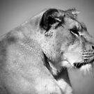 Lioness in Black and White by Lynn Bolt