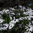 Daisies Leith Park Victoria 20160920 7515 by Fred Mitchell