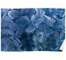 Blue, Blue Hydrangeas Poster