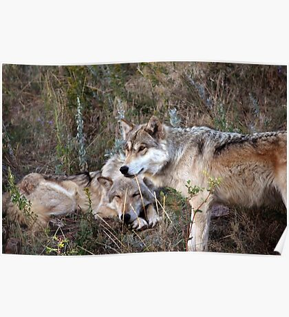 Wolf Picture Showing Family Ties  Poster