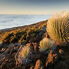 Silversword Family - Maui by Michael Treloar
