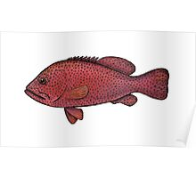 Red Sea Coral Grouper Poster