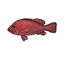 Red Sea Coral Grouper Photographic Print