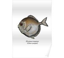 Silver spinyfin Poster