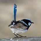 Blue Wren by Sandy1949