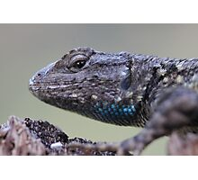 Western Fence Lizard Photographic Print