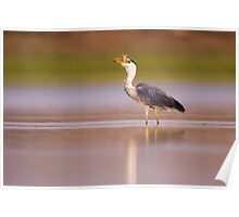 Grey heron (Ardea cinerea) standing in a water pond. Poster