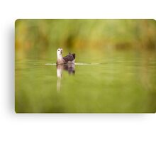 Juvenile Common Moorhen (Gallinula chloropus) swimming in a lake.  Canvas Print