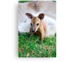 Wallaby Joey Canvas Print
