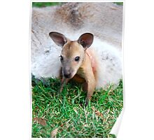 Wallaby Joey Poster