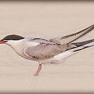 Common tern (Sterna hirundo) adult on the beach with a fish in its bill. by PhotoStock-Isra