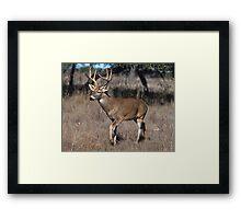 White Tail Deer Framed Print