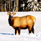 Solitary Elk by dmacneil