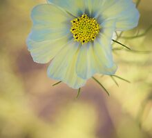 Anemone. Not animosity. by alan shapiro