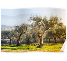 Landscapes - Olive Grove Poster