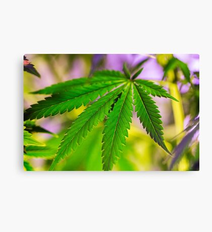 Green marijuana leaf design Canvas Print