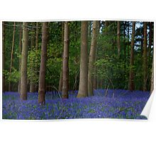 Beautiful Bluebell wood, colourful landscape photograph of bed of Bluebells Poster