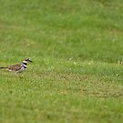 Killdeer on Bug Patrol by Ben Waggoner