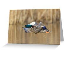 Male Mallard duck (Anas platyrhynchos) Greeting Card
