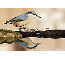 Eurasian Nuthatch (Sitta europaea) Photographic Print