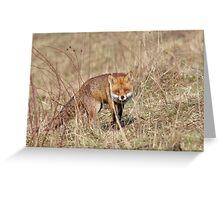 Red Fox (Vulpes vulpes) Greeting Card