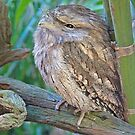 Tawny Frogmouth, Queensland, Australia by Adrian Paul