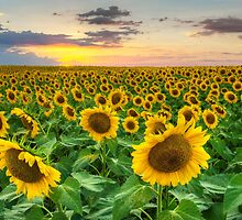 Sunflower Images - A Field of Golden Texas Wildflowers by RobGreebonPhoto
