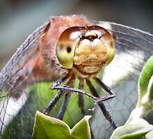 Here's Lookin at you! Dragon Fly by RGA Photography