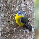 Yellow Robin by mncphotography