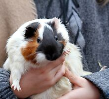 guinea pig by spetenfia