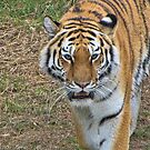 Amur Tiger by Ray Clarke