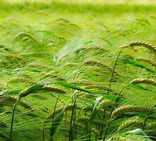 Barley in sunshine by despugh