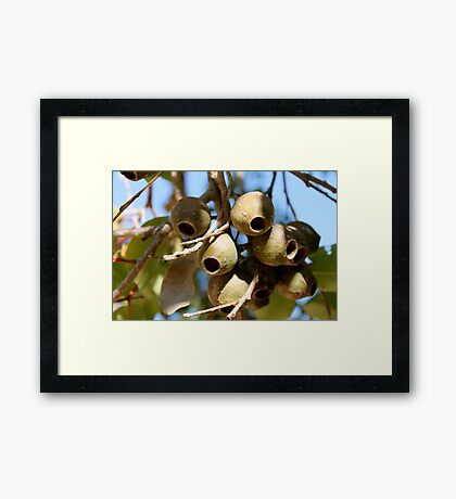 Giant Gum Nuts, Kings Park - Perth.  W.A.  Framed Print