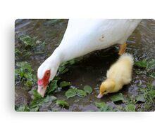 ducks on lake Canvas Print