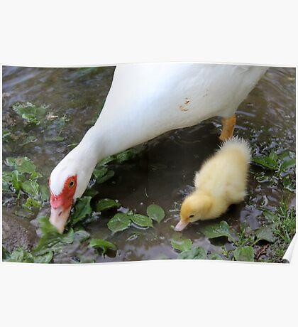 ducks on lake Poster