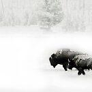 Bison in the mist by Linda Sparks