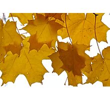 Sugar Maple Leaves Photographic Print