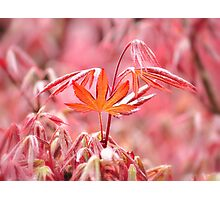 Spring Acer Photographic Print
