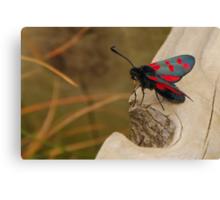 Five-spot Burnet Moth Canvas Print