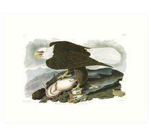 Bald Eagle - John James Audubon  Art Print
